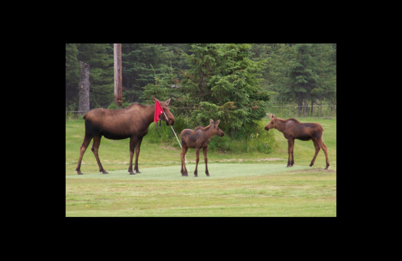 Moose at Sleepy Bear Cabins.