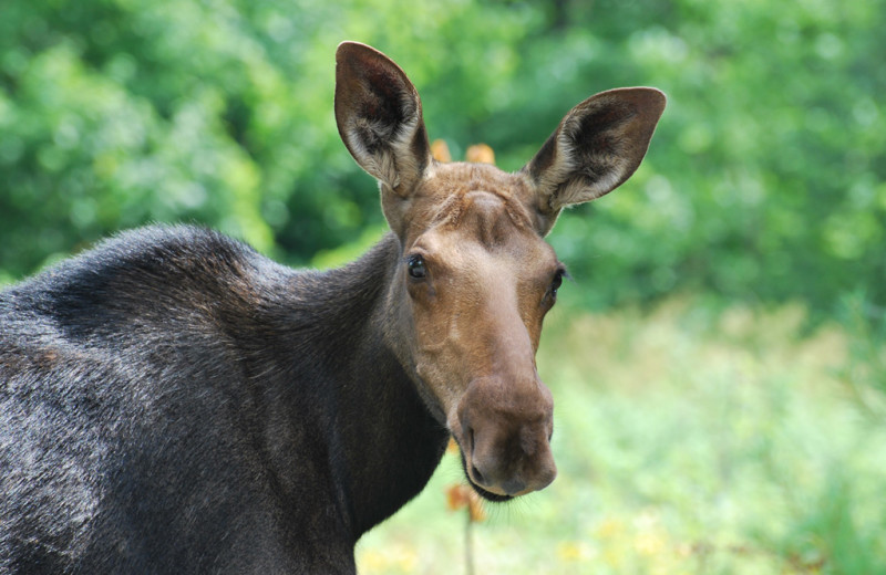 Moose at The Birches Resort.