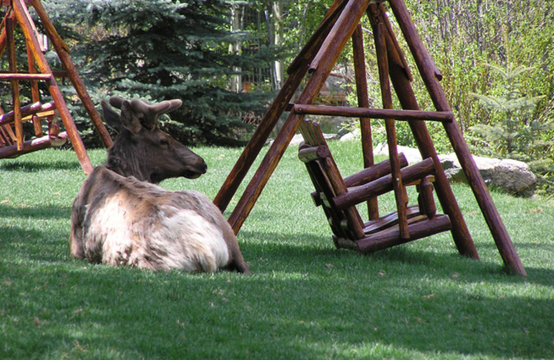 Elk relaxing at Aspen Winds.