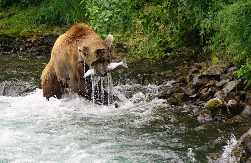 Bear with fish at Alaska Trophy Adventures Lodge.