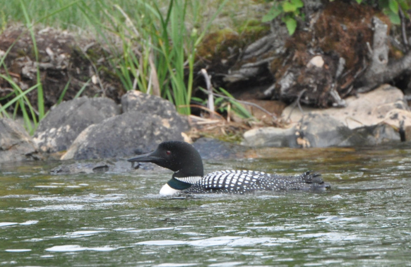 Loon at Cabin O'Pines Resort