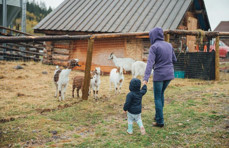 Goats at Big Bar Guest Ranch.