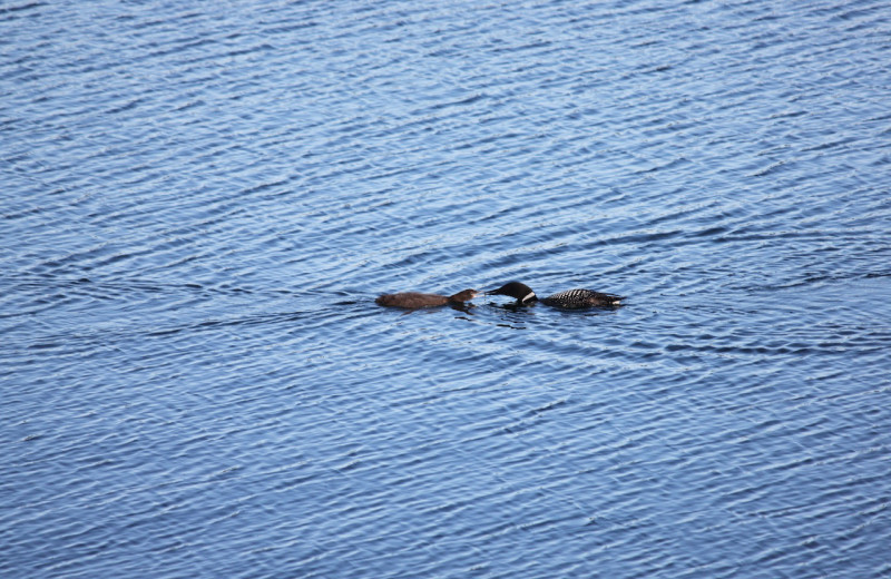 Loons at Tyee Lake Lodge.