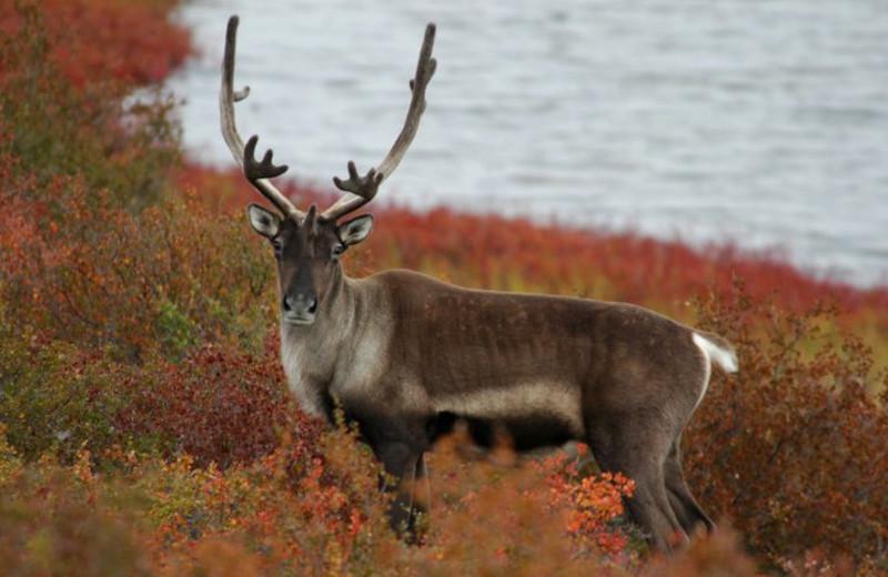 Caribou at Plummer's Arctic Fishing Lodges.