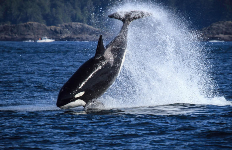 Whale watching at Long Beach Lodge Resort.