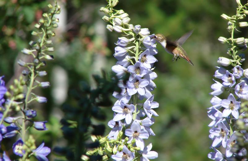 Hummingbird at Mica Mountain Lodge & Log Cabins.