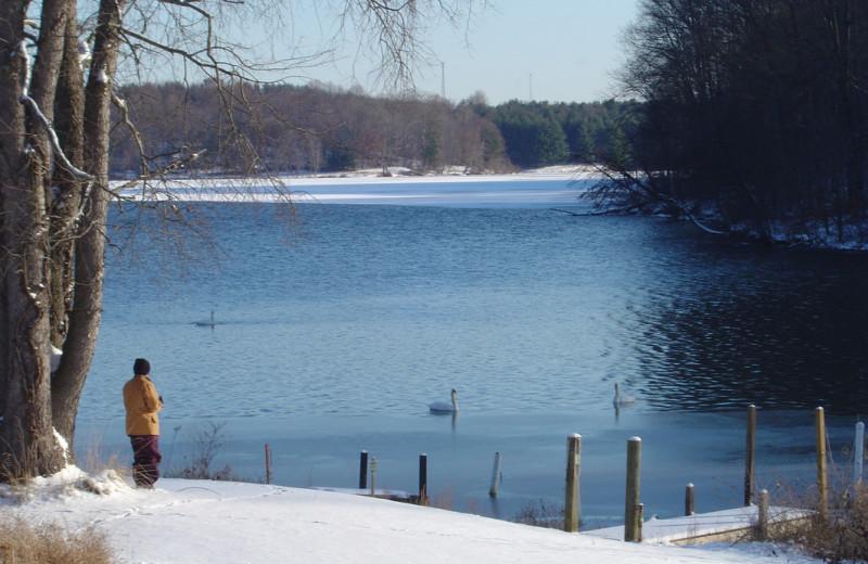 Swans at Chateau Lake Logan.