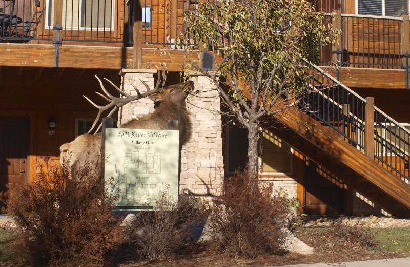 Elk at Fall River Village Resort Condos.