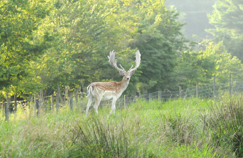 Fallow deer hunting at Caryonah Hunting Lodge.
