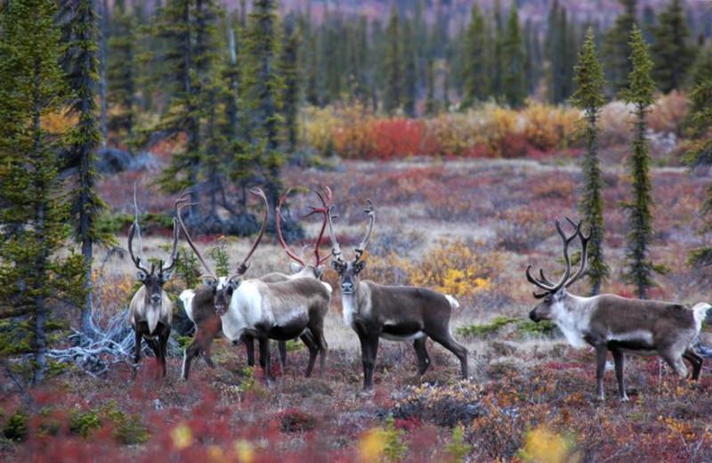 Hunting at Plummer's Arctic Fishing Lodges.