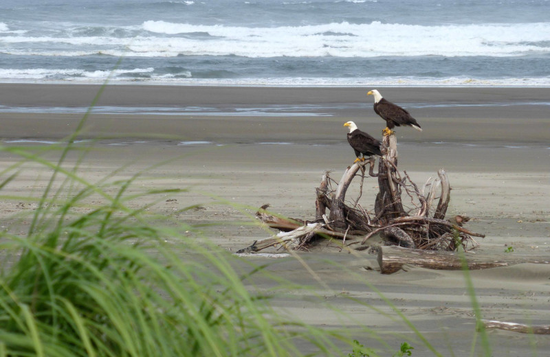 Eagles on beach at Ocean Crest Resort.