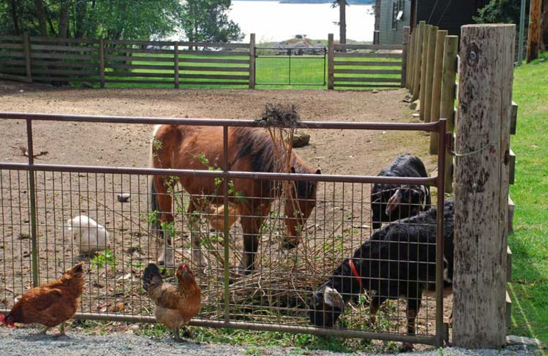Farm animals at Pebble Cove Farm.