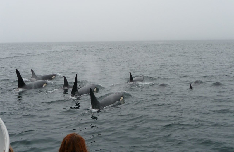 Killer whales at Afognak Wilderness Lodge.