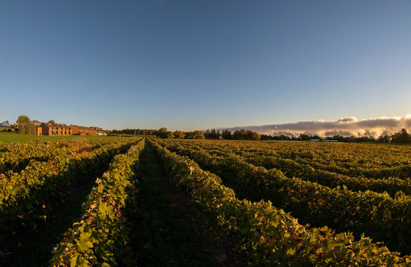 Vineyard at Inn at Glenora Wine Cellars.