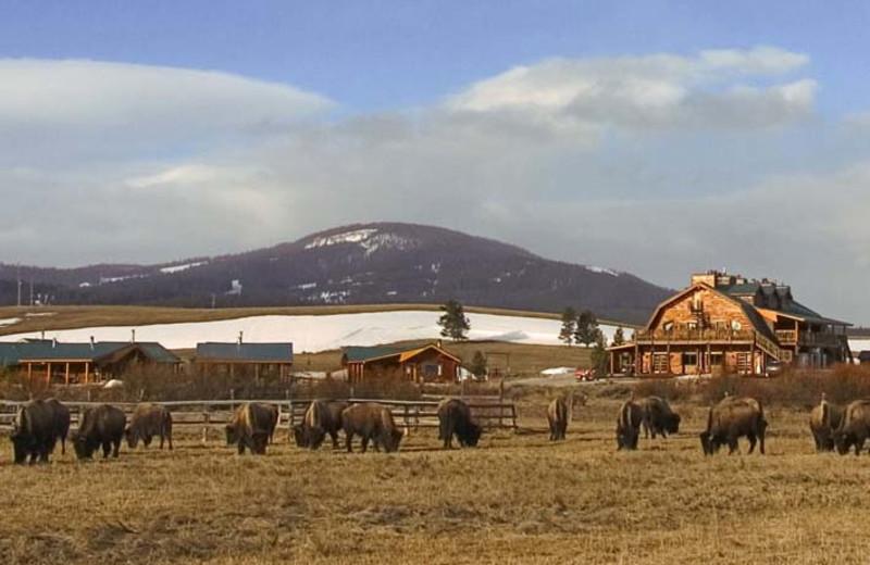 Bison grazing at Bar N Ranch.