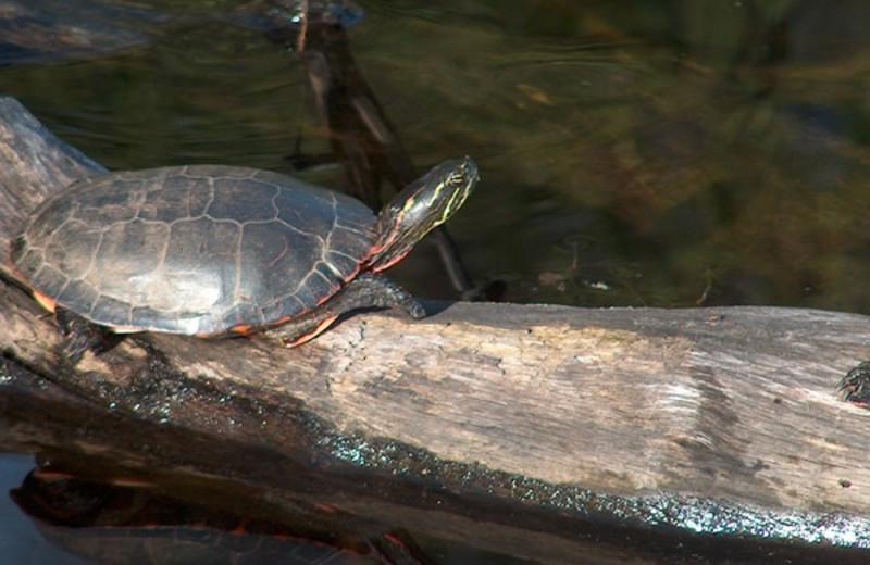 Turtles at Popp's Resort.
