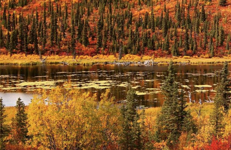 Fall colors at Alaska's Gold Creek Lodge.