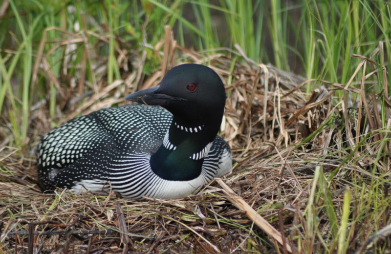 Loon at Rainbow Point Lodge.