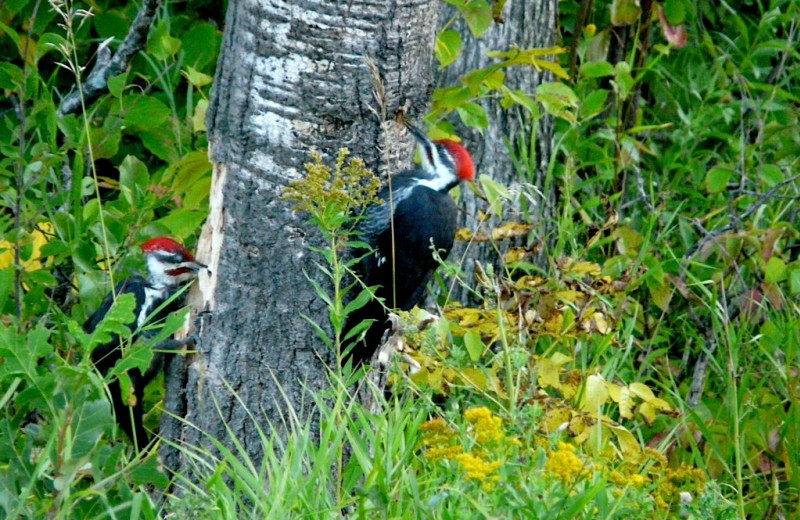 Woodpeckers at Hamilton's Fox Lake Campground.