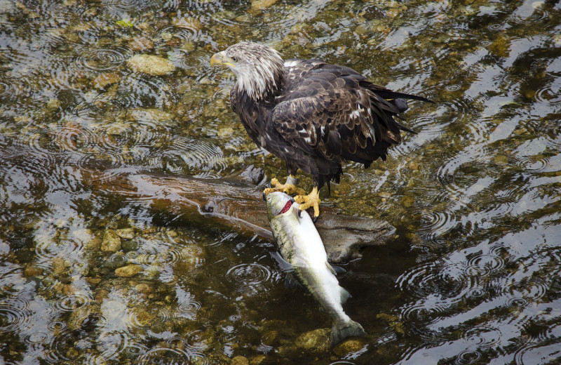 Eagle with fish at Grizzly Bear Lodge & Safari.