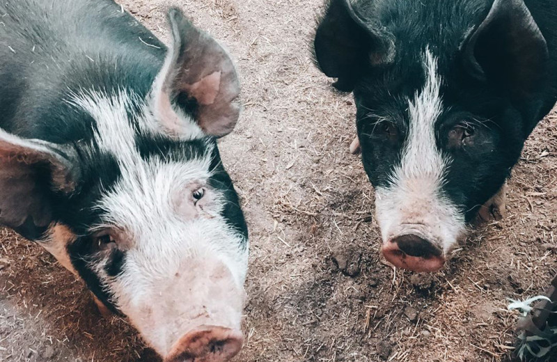 Pigs at Hardscabble Ranch.