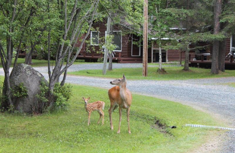 Deer at Tallpine Lodges.