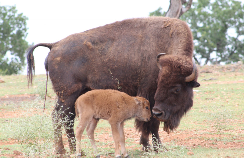 Bison at The Exotic Resort Zoo.