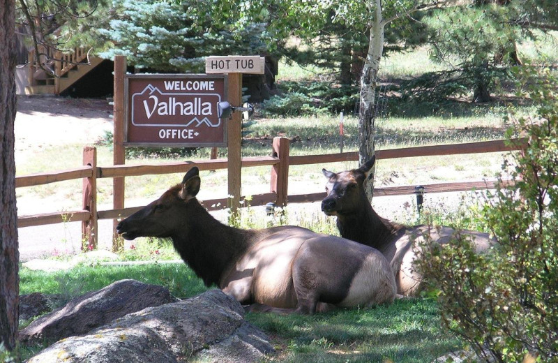 Elk at Valhalla Resort & Vacation.