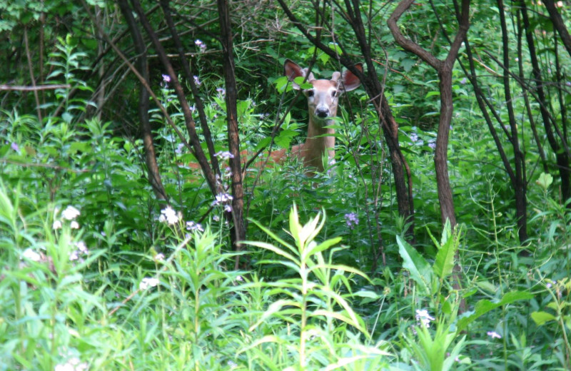 Deer near August Lodge Cooperstown.