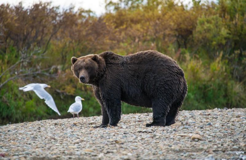 Bears at Alaska Rainbow Lodge.