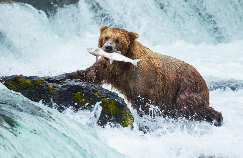 Brown bear with fish in mouth at Alaska's Gold Creek Lodge.