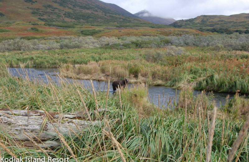 Grizzly bear near Alaska's Kodiak Island Resort.