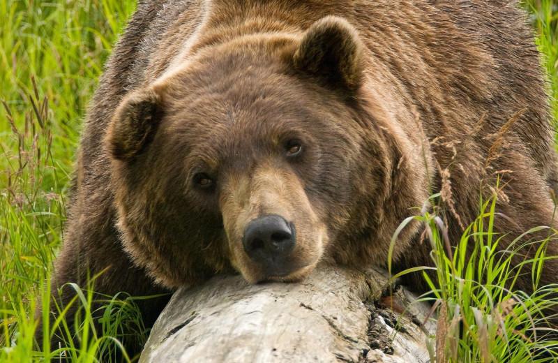 Grizzly at Kenai Riverside Lodge.