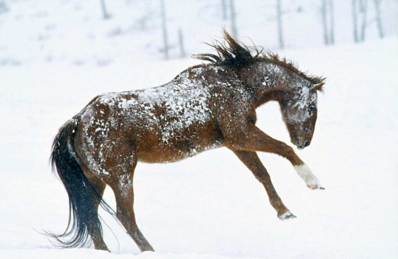 Horse playing in the snow at Vista Verde Ranch.