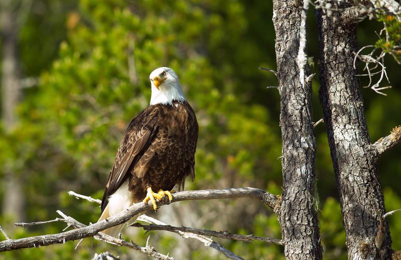 Eagle at Nootka Wilderness Lodge.