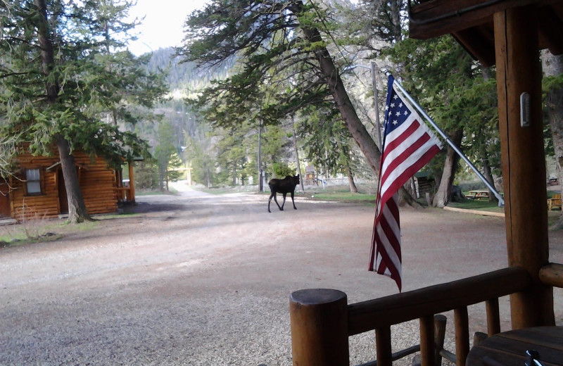 Moose wandering around Shoshone Lodge & Guest Ranch.
