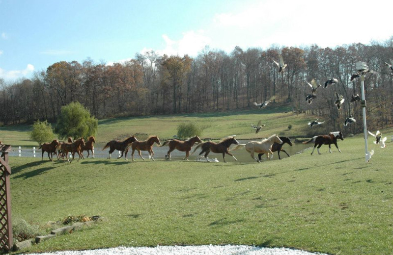 Horses at Guggisberg Swiss Inn/Amish Country Riding Stables.