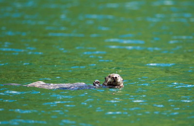 Otter at Nootka Wilderness Lodge.