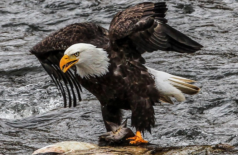 Eagle at Salmon River Tours.