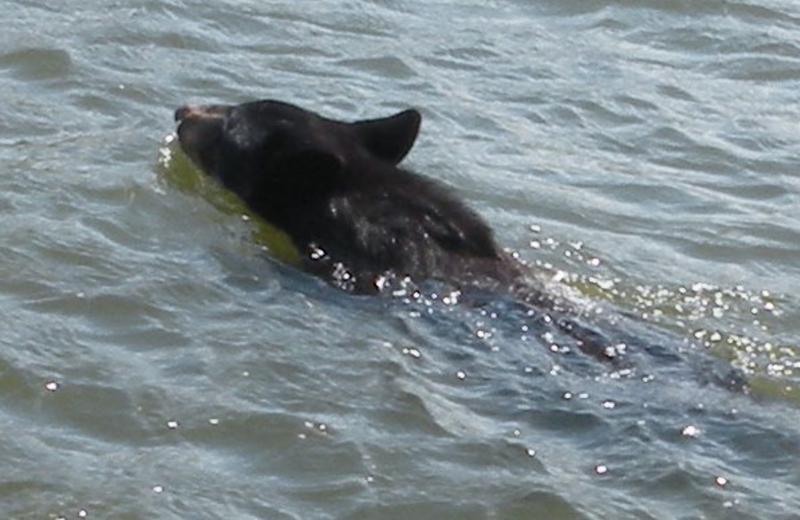 Bear swimming at Angle Inn Lodge.