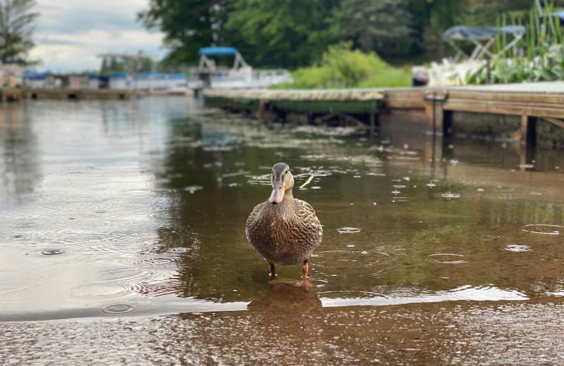 Duck at Lakewoods Resort.