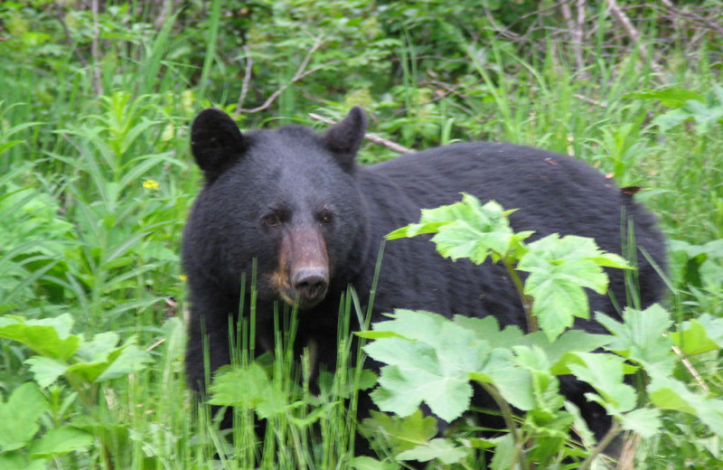 Black bear at Kenai Riverside Lodge.