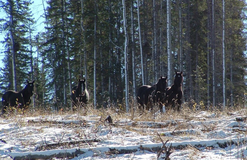 Wild horses at Cheechako Cabins.