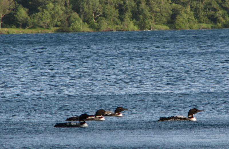 Loons at Battle Lake Inn and Suites.