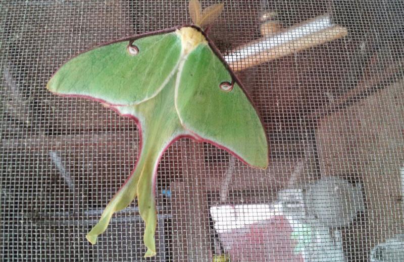 Luna moth at Tamarack Resort.