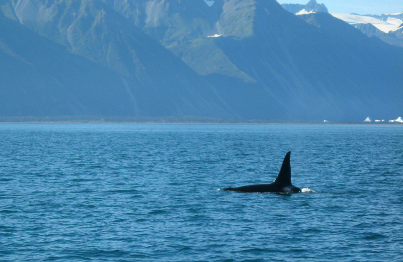 Killer whale at Soldotna B&B Lodge and Alaska Fishing Charters.