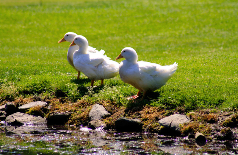 Ducks at Spring Valley Golf and Lodge.