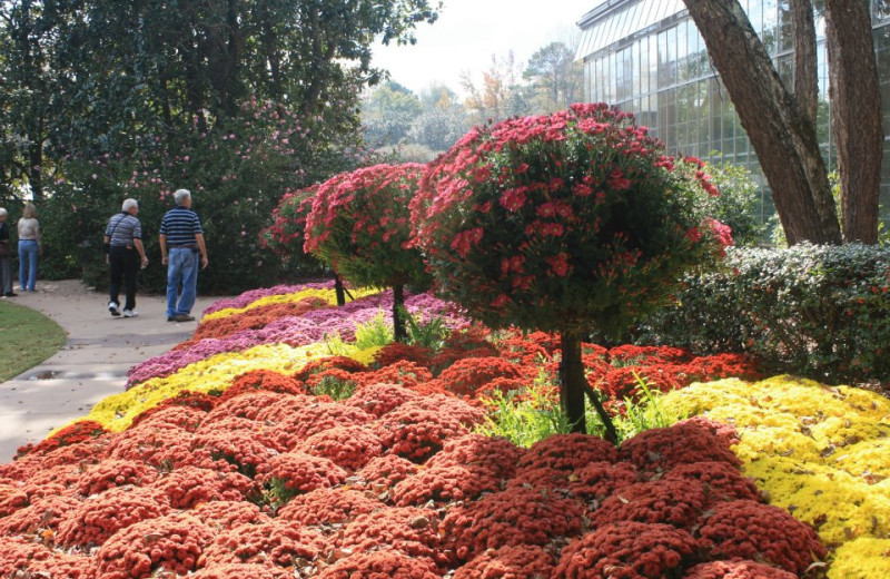 Mums at the Horticulture Center at Callaway Gardens.