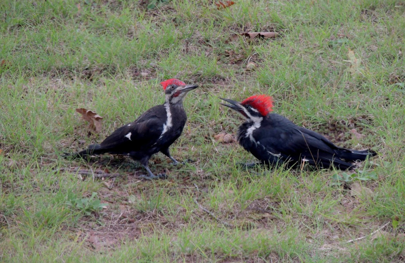 Woodpeckers at Northland Lodge.
