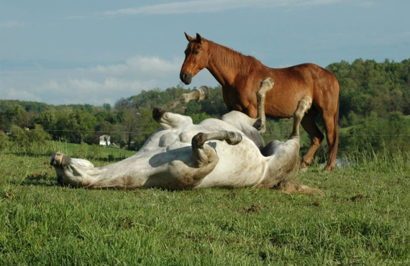 Playful horses at Guggisberg Swiss Inn/Amish Country Riding Stables.